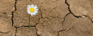 daisy growing in the scorched earth shows resiliency